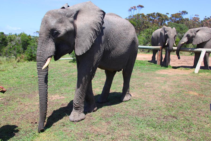 Interação com elefantes!