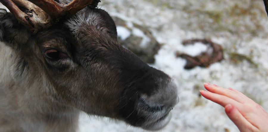VÍDEO: Conhecendo as renas da Finlândia!