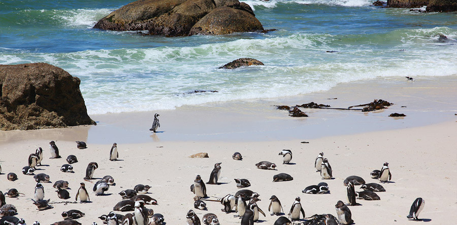 Pinguins na África do Sul: onde encontrá-los!