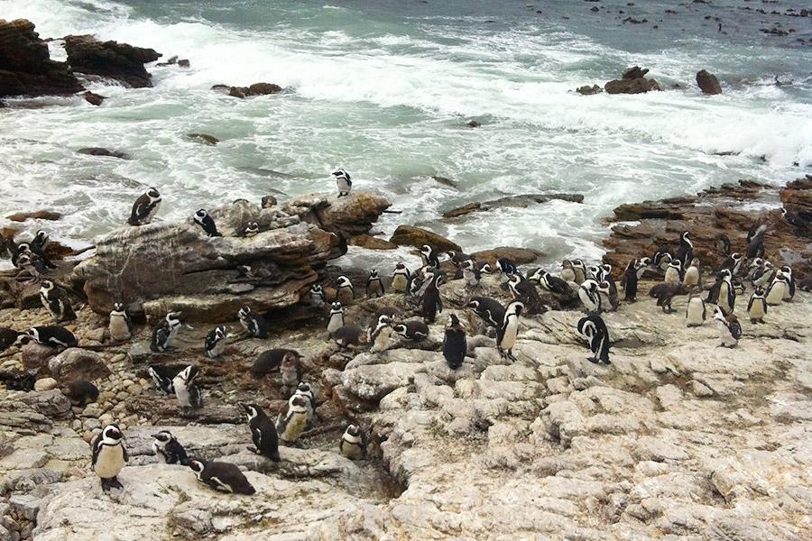 Pinguins na África do Sul!