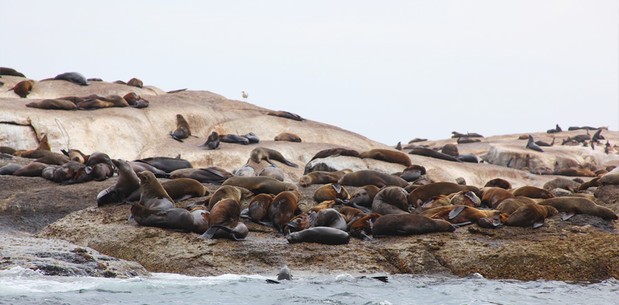 As focas de Hout Bay